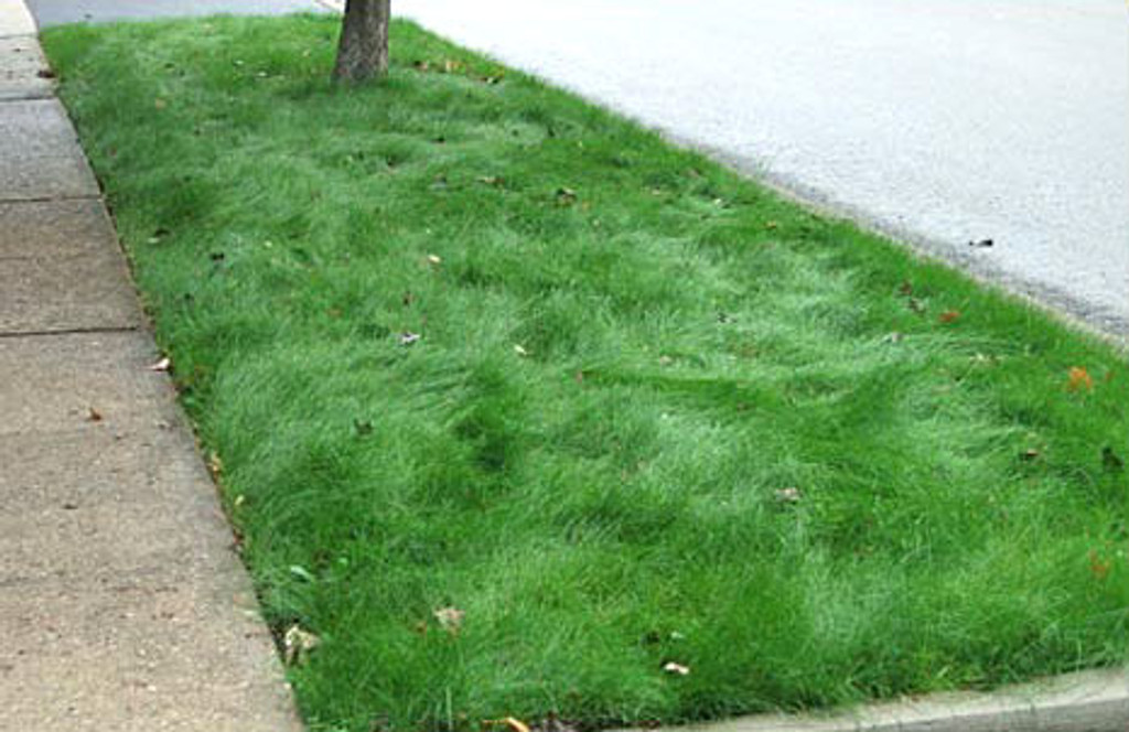 Wildflower Farm's Eco-Lawn Grass Seed - 50 lb