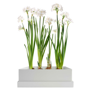 Paperwhites Bulb Box