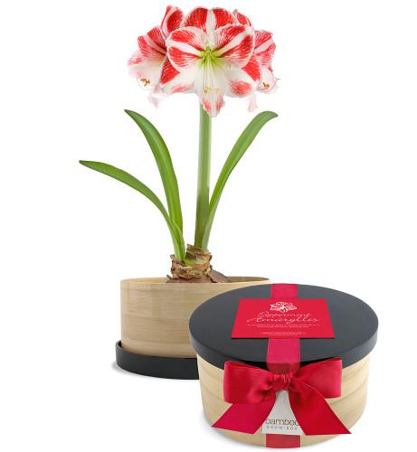 Peppermint Amaryllis Bamboo Grow Box