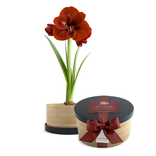 Chocolate Amaryllis Bamboo Grow Box