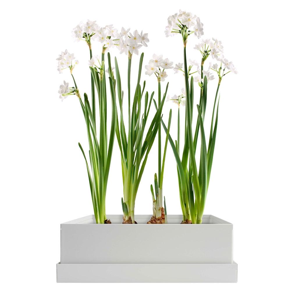 Paperwhites bulb box eartheasy mightylinksfo