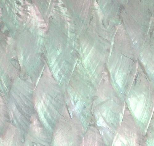 Donkey ear abalone on light ground, detail.
