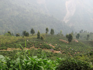 First Report from India: Darjeeling and the Makaibari Tea Estate