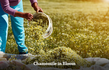 chamomile-in-bloom-2.jpg