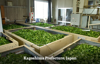 Organic Tea from Kagoshima Prefecture, Japan