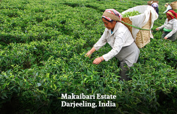 makaibari-estate-darjeeling-india-3.jpg