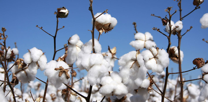 cotton-field-web2.jpg