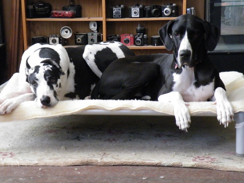 Great Danes on a Large Dog Bed