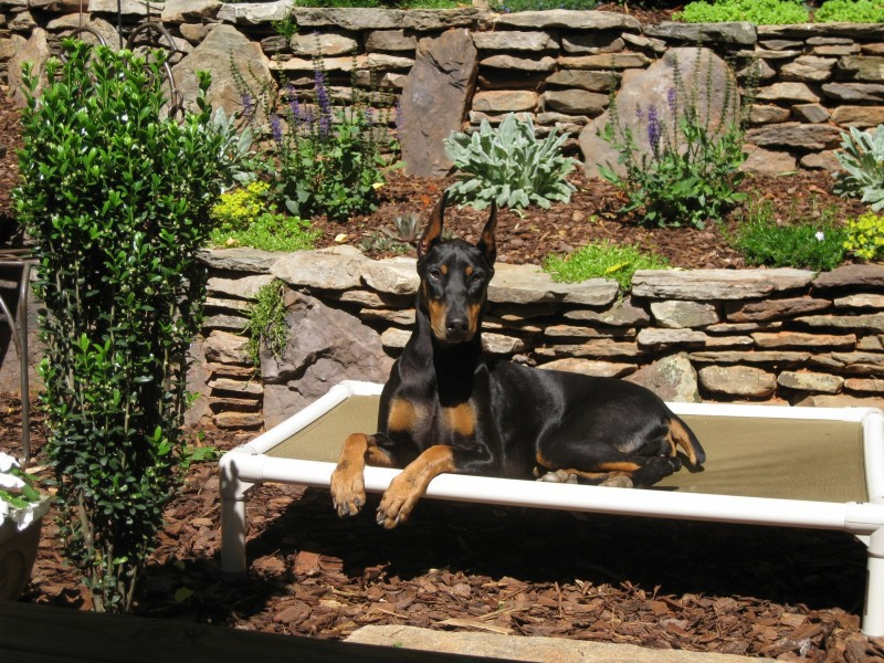 A Doberman rests on a large outdoor Kuranda Bed