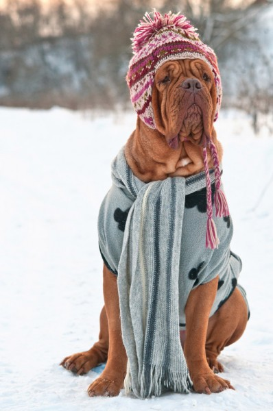 A Dog dressed for winter