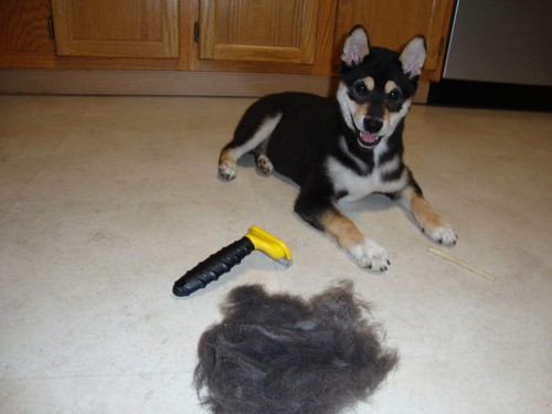 A groomed pup