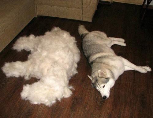 A groomed dog rests