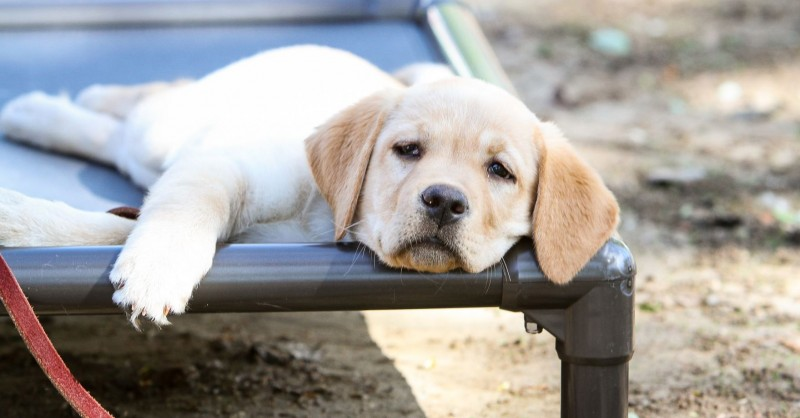 A Puppy Lounges on a Kuranda bed