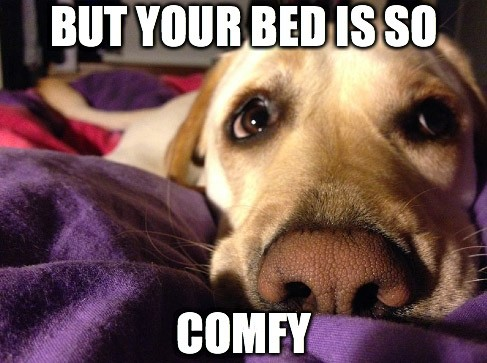 Dog comfy on a people bed