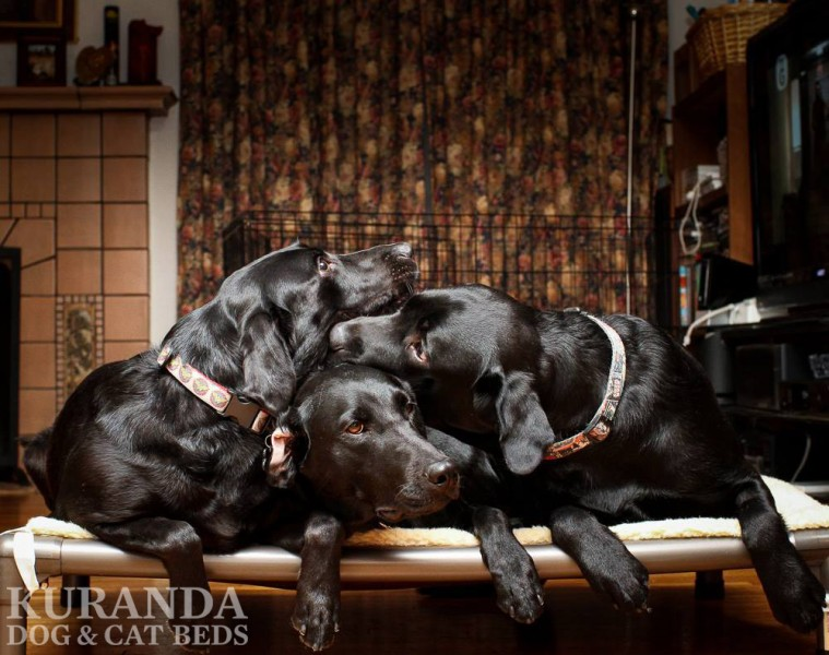 Three Labs Share a Kuranda Dog Bed