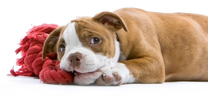 A Teething Puppy chews on a toy
