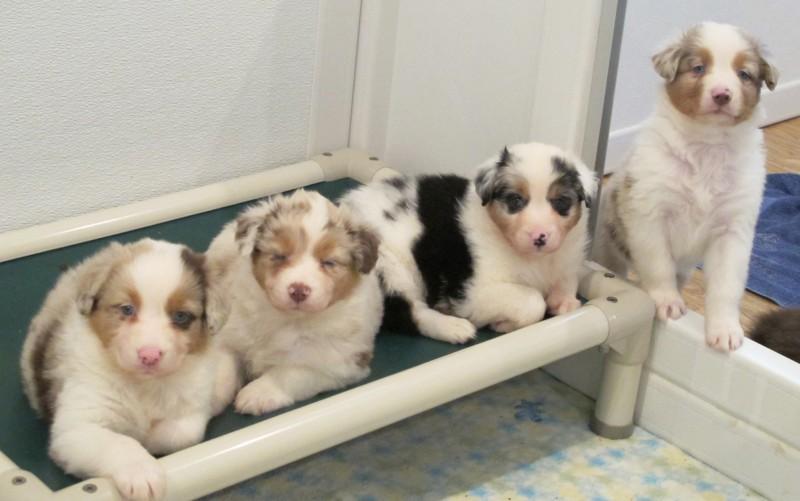 Puppies on a Kuranda Bed
