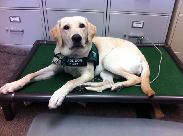 Service Dog on a Kuranda bed