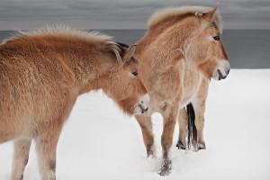 Fjord Horse 02