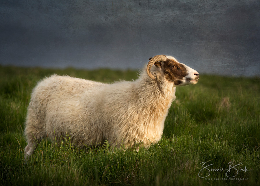 "Icelandic Ewe by Bonnie Block 14"" x 10"""