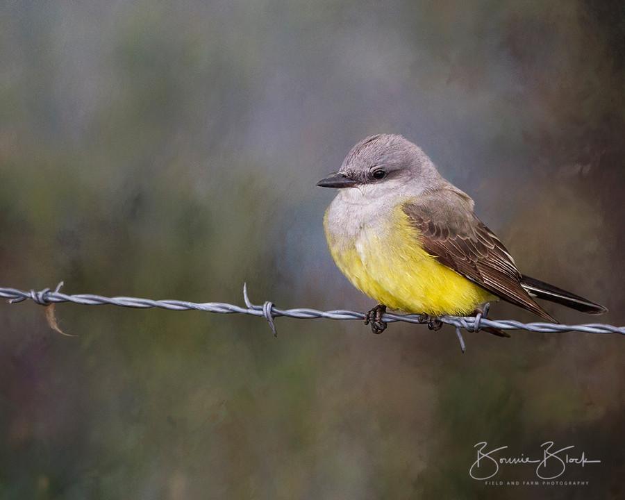 """Western Kingbird by Bonnie Block 10"""" x 8"""""""