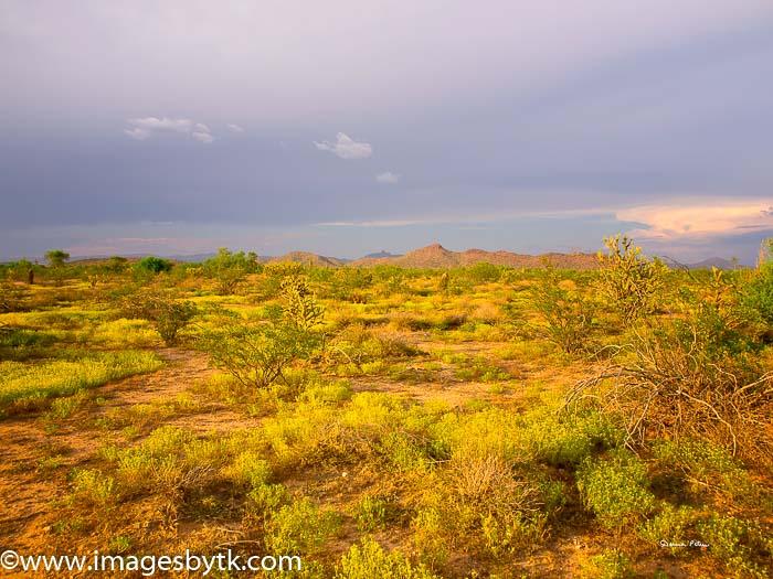 Monsoon Storms Bring Desert Blooms