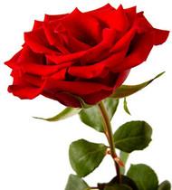 June Flower: Rose