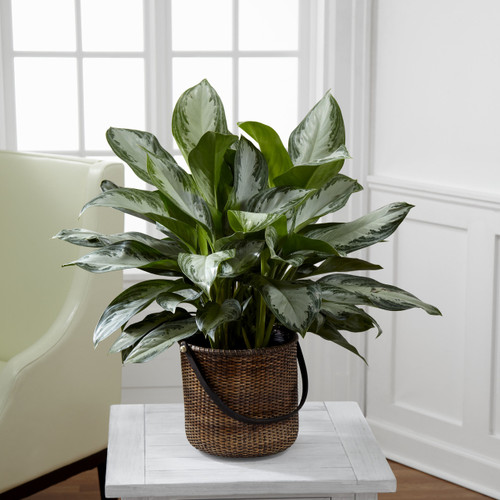 Chinese Evergreen Long Island Florist