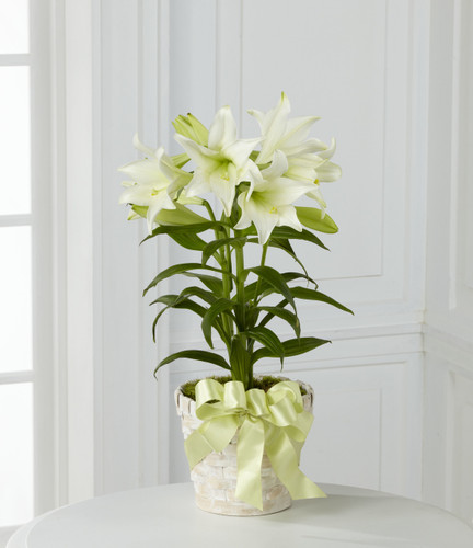 Easter Lily Plant Long Island Florist