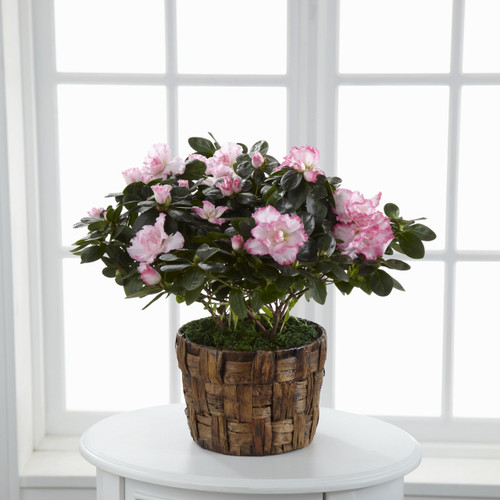 ThePink Azalea showers your recipient with beautiful blushing blooms to create a fantastic gift set to celebrate any occasion. A stunning azalea plant displays soft pink flowers from its branches presented in a woven banana leaf potcover to create a