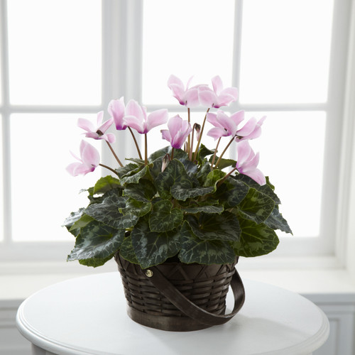 Pink Cyclamen Flowers Long Island