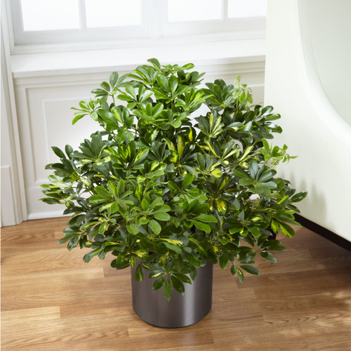 TheSchefflera Arboricola, or more commonly known as a Dwarf Umbrella Tree, is a lush and vibrant way to bring nature into any space. This incredible plant displays its beautiful foliage presented in a round graphite container for a look of modern sop