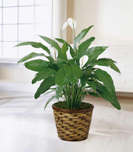 Spathiphyllum Florist Long Island NY
