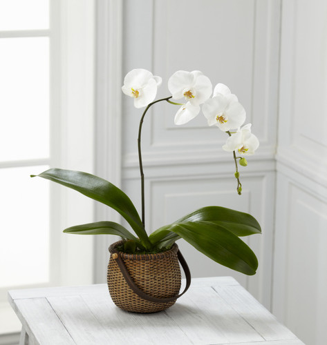 White Phalaenopsis Orchid Flowers Long Island