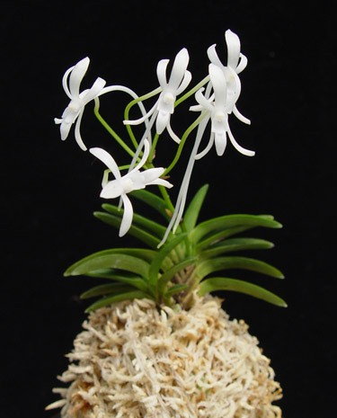 neofinetia-orchid-plant.jpg