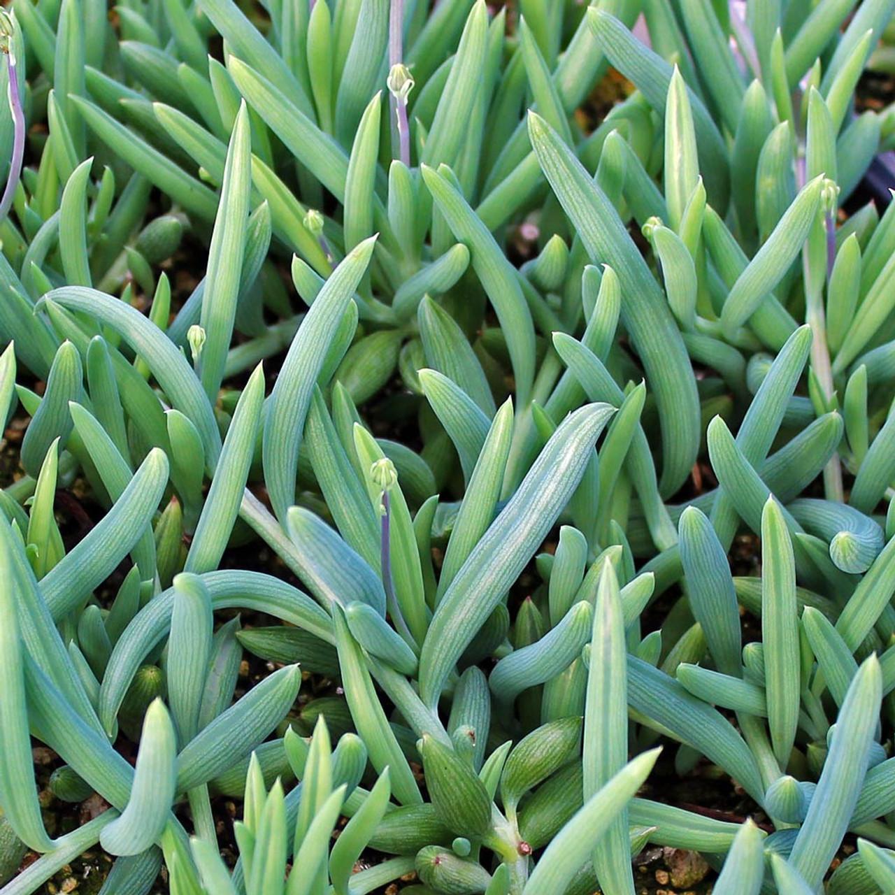 Senecio radicans glauca blue pickle vine mountain crest gardens senecio radicans glauca blue pickle vine izmirmasajfo Images