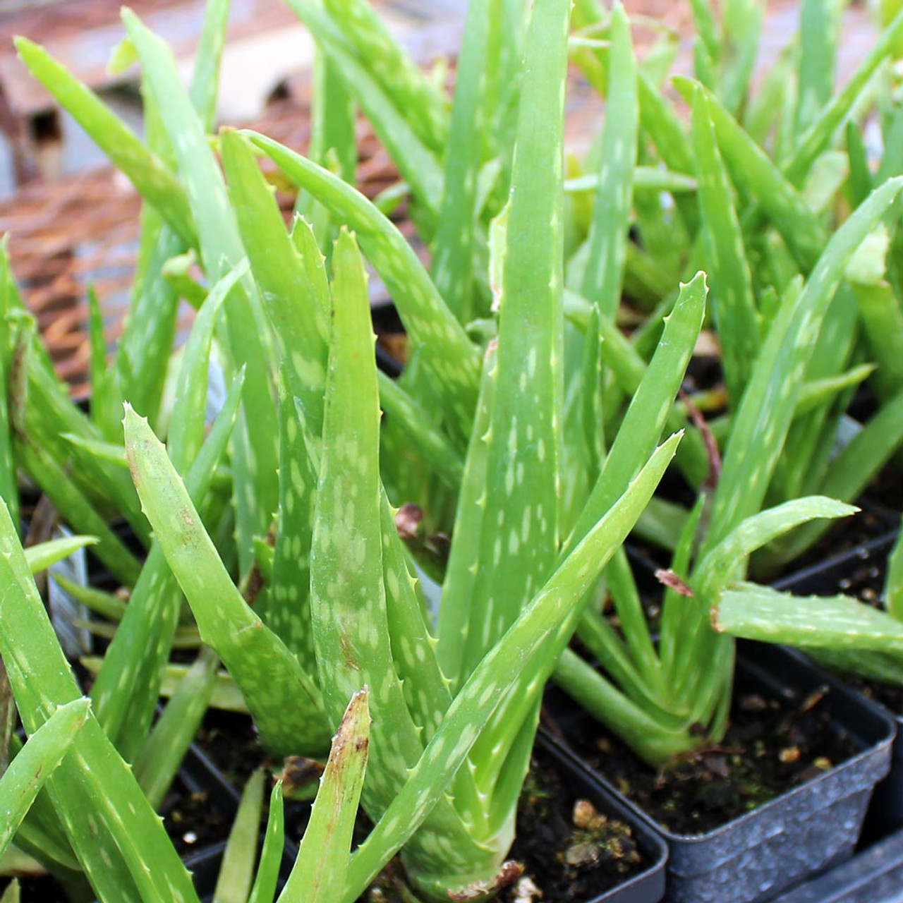 aloe barbadensis 2018-07-12 aloe vera what is aloe aloe is a succulent plant widely  used in alternative medicine there are at least 420 different plant species of aloe aloe vera specifically refers to the aloe barbadensis miller plant, which is the most common form used in aloe-based products how is aloe used traditionally, the clear gel from the aloe.