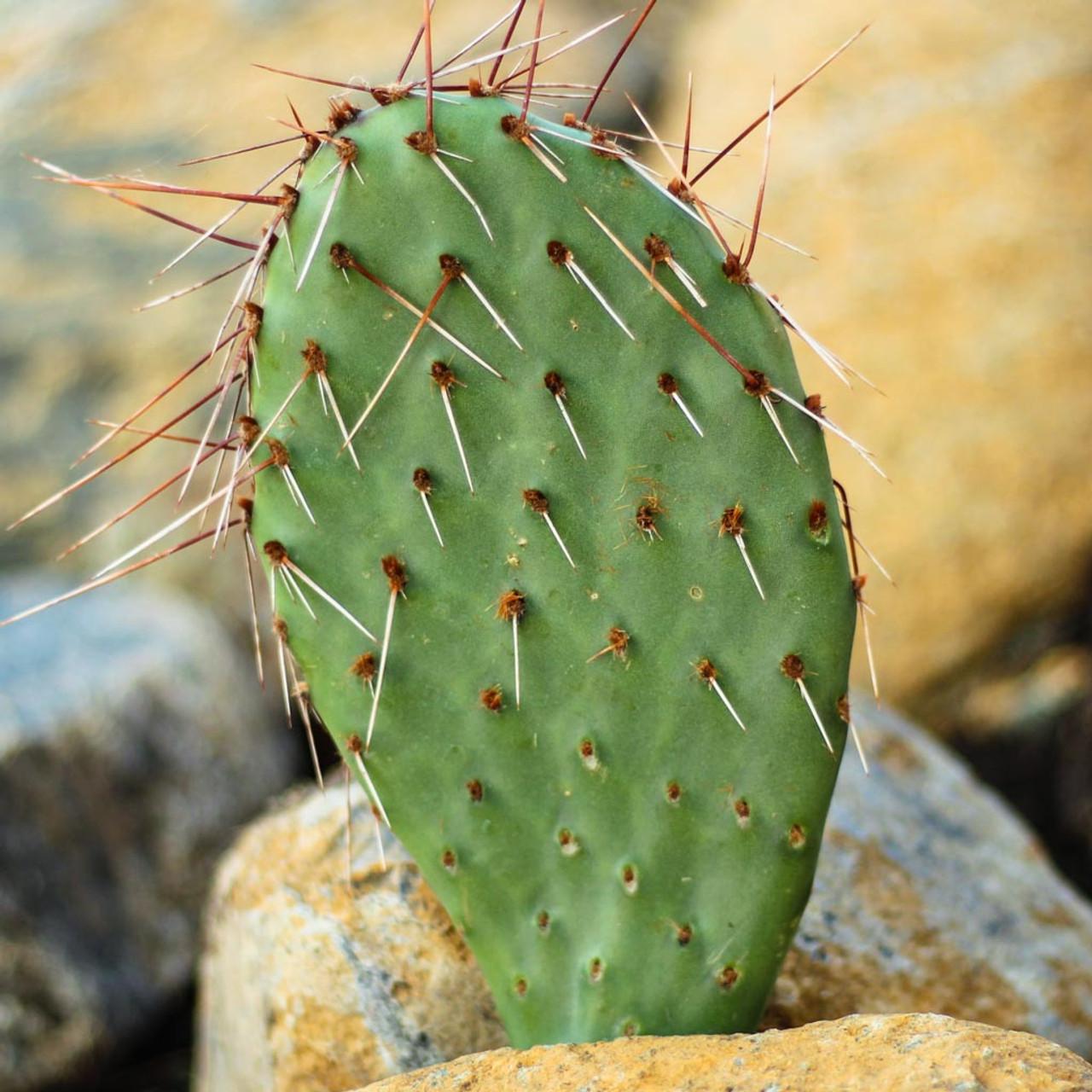 Opuntia Desert Skies Prickly Pear Mountain Crest Gardens