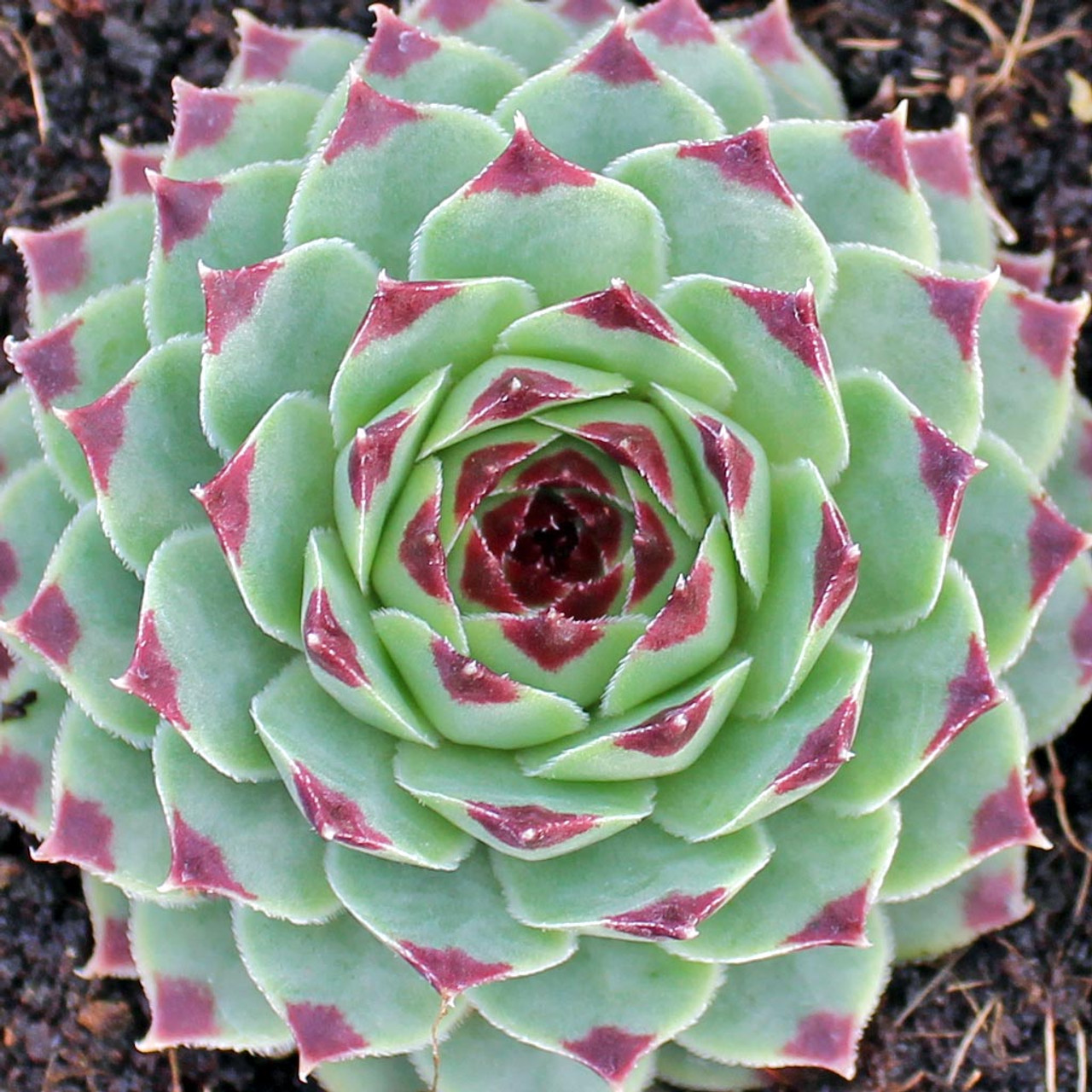 Sempervivum Calcareum Mountain Crest Gardens