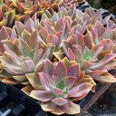 Graptoveria 'Fred Ives' - Spring - 3.5in containers