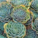 Echeveria imbricata - Blue Rose Echeveria - mature rosettes