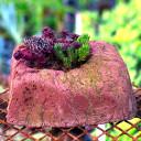 Dish Garden - Alpine - Pink