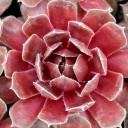 Sempervivum 'Ruby Heart' - Blushed