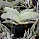 Crassula perfoliata var 'Falcata' - Propeller Plant - Winter