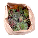 Sempervivum (Hens and Chicks) Assorted Unrooted Rosettes - As Shipped