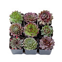 Sempervivum (Hens and Chicks) Set (9) - Winter