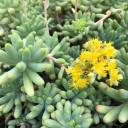 Sedum pachyphyllum - Bloom