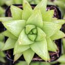 Haworthia reticulata var. haageana