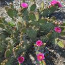 Opuntia 'Fiesta' Prickly Pear - Bloom 2