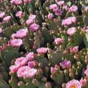 Opuntia utahensis hybrid 'Nel Pastel' - Bloom 2
